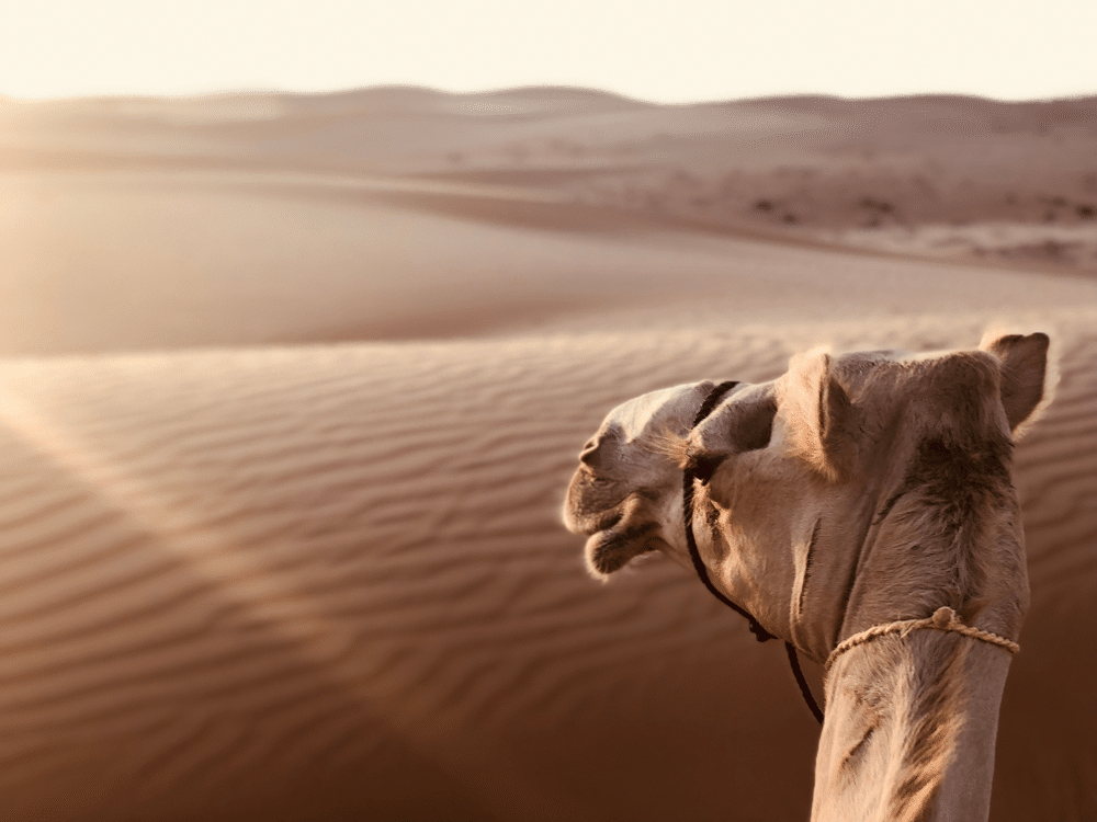 Ship of the Desert - Camel